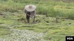 Pemerintah mulai mengimpor beras dari Vietnam dan Thailand tahun lalu, karena banyaknya gagal panen di dalam negeri.