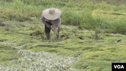 Petani di sawah di San Marino, Filipina. Tahun ini, Indonesia berencana akan kembali mengimpor beras sebesar 1,75 juta ton
