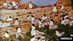 Landscapes of Dauria: Caspian Tern and Relict Gull. (O.Goroshko)