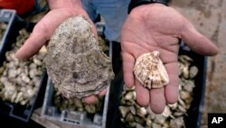 The difference between a standard oyster, and an 'ugly' oyster. (AP Photo/Charles Krupa)