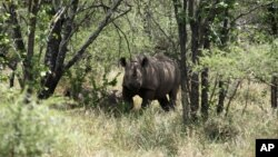 FILE - A rhino is seen in its natural habitat in the Bubi area, about 500 kilometers south of Harare, Zimbabwe, Dec. 20, 2010.