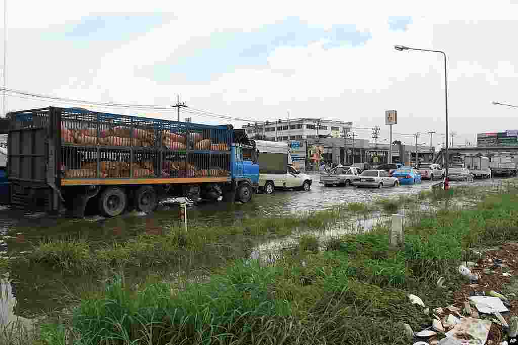 A truck full of pigs is stuck in traffic fleeing the floodwaters in Nonthaburi, just outside of Bangkok, Thailand. – VOA Photo G. Paluch