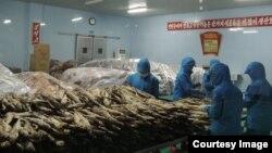 북한 원산 소재 갈마식료공장 직원들이 명태 가공 작업을 하고 있다. 사진 제공: 후쿠다 게이스케.