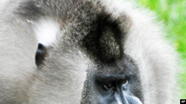 Endangered primate Mandrillus leocophaeus.
