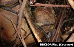 Bangkai harimau Sumatra yang terlilit jerat sling ditemukan di hutan produksi di Kabupaten Siak, Provinsi Riau. Kamis 27 Agustus 2020. (Courtesy: BBKSDA Riau)