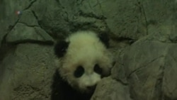 Washington's Baby Panda Makes Press Appearance