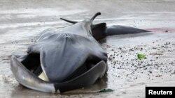 La ballena permaneció con vida 24 horas después de haber sido encontrada en la playa.