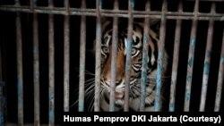 Harimau Sumatera di Taman Margasatwa Ragunan, DKI Jakarta, yang sempat terinfeksi COVID-19, Minggu, 1 Agustus 2021. (Foto: Humas Pemprov DKI Jakarta)