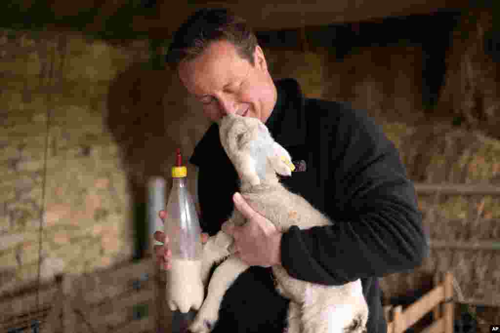 Britain's Prime Minister and leader of the Conservative Party, David Cameron feeds an orphaned lamb on Dean Lane farm near the village of Chadlington, southern England.