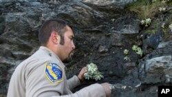 由加州魚類和野生動物機構提供的照片顯示,2018年4月17日,野生動物部門工作人員在加州洪堡縣補種多肉植物。