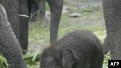 Sri Lanka khởi sự thống kê đàn voi trên cả nước