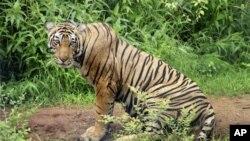 ໃນການພະຍາຍາມຟື້ນຟູພົນລະເມືອງເສືອຢູ່ພາກຕາເວັນຕົກຂອງອິນເດຍໄວ້ນັ້ນ ໃນວັນທີ 4 ກໍລະກົດ, 2008 ເຈົ້າໜ້າທີ່ອິນເດຍ ໄດ້ເອົາເສືອແມ່ໃສ່ຍົນມາປ່ອຍໄວ້ໃນສູນອານຸລັກເສືອ Sariska ໃນລັດ Rajasthan ເພື່ອໃຫ້ເສືອດັ່ງກ່າວຢູ່ກັບເສືອຜູ້ໂຕນຶ່ງ ທີ່ເອົາມາໄວ້ທີ່ນັ້ນເຊັ່ນກັນ (AP Photo)