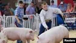 美國養豬業。(資料圖片)