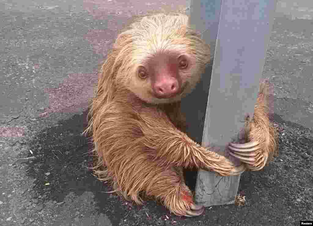 សត្វម៉្យាងដែលមានសកម្មភាពយឺត (sloth) កាន់បង្គោលនៃរបាំងចរចរណ៍នៅលើមហាវិថី ក្នុងក្រុង Quevedo ប្រទេសអេក្វាទ័រ។ សេចក្តីប្រកាសព័ត៌មានមួយនិយាយថា មន្ត្រីប៉ូលិសនៅតាមផ្លូវរថភ្លើង ដែលបានដើរត្បាតមហាវិថីថ្មីនោះបានរកឃើញសត្វនេះ បន្ទាប់ពីវាព្យាយាមឆ្លងកាត់ផ្លូវ និងយកវាទៅដាក់នៅក្នុងជម្រកធម្មជាតិរបស់វាវិញ។