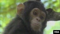 SAD: Zabraniti opite na čimpanzama ili ne !?