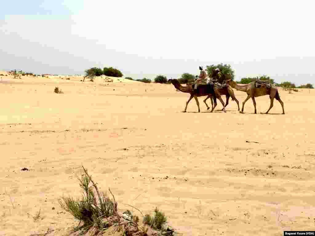 Des voyageurs à dos de chameaux à la sortie du camp de Dar Es Salam à Baga-Sola (ouest du Tchad),Baga-Sola, Tchad,2 avril 2016. (Photo voa Bagassi Koura).