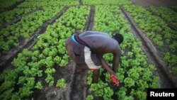 A man works at his lettuce garden in Cocody, Abidjan, Ivory Coast, May 26, 2015.