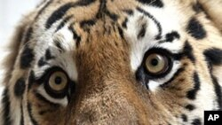 چین : سائیبریا کے شیرکے حملے میں ایک شخص ہلاک