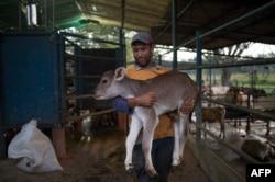 A famer carries a calf at a dairy farm in San Silvestre, Barinas State, Venezuela, Nov. 28, 2018.