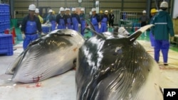 Hai con cá voi mũi nhọn bị xẻ thịt tại nhà máy chế biến thủy sản ở Kushiro, Hokkaido.
