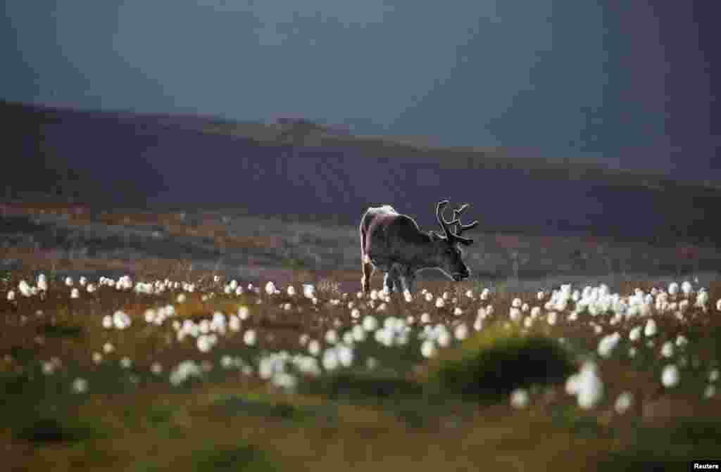 A reindeer grazes on land in the town of Longyearbyen in Svalbard, Norway.