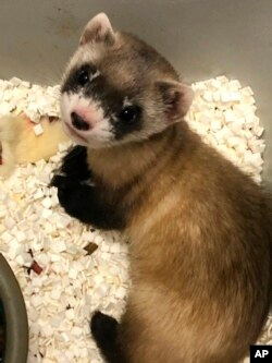In this photo provided by the U.S. Fish and Wildlife Service is Elizabeth Ann, the first cloned black-footed ferret and first-ever cloned U.S. endangered species, at 48-days old on Jan. 27, 2021. (U.S. Fish and Wildlife Service via AP)