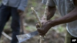 A man cuts cassava root. (file photo)