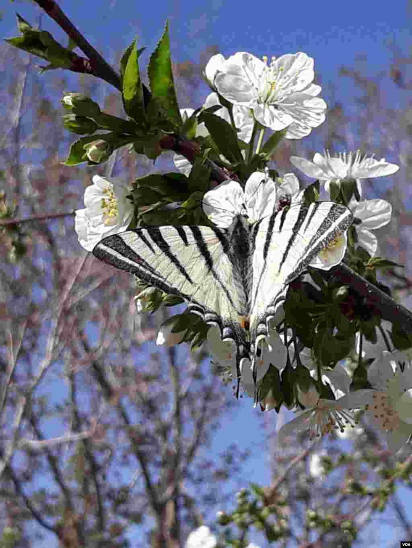 پروانه روی شکوفه گیلاس، باغ های تفرش عکس: فرزانه باقریان (ارسالی شما)