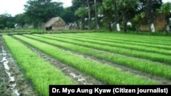 New method of rice farming