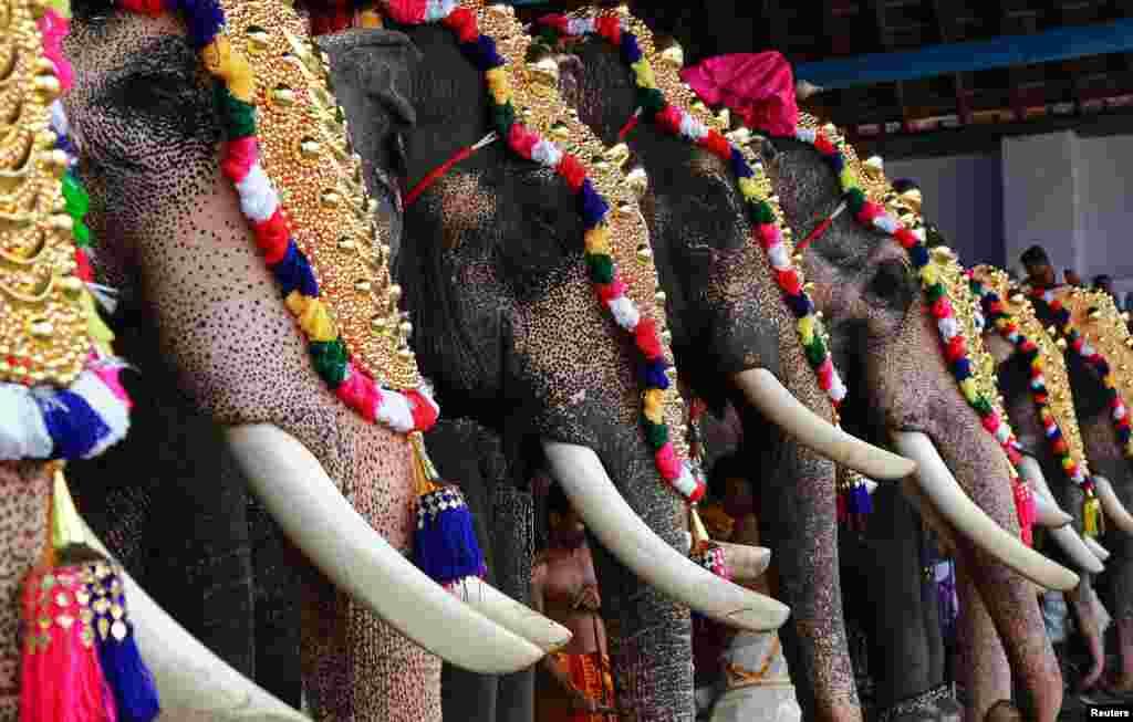 인도 코치의 한 사원에서 연례 브리스치콜스밤 축제에 나온 코끼리들이 화려한 장식으로 꾸몄다.