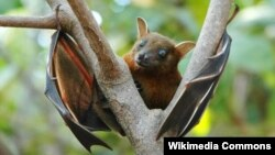 Fruit bat Ebola