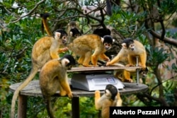 Squirrel monkeys stand on the scales, during the annual weigh-in, at London Zoo, in London, Thursday, Aug. 26, 2021. (AP Photo/Alberto Pezzali)