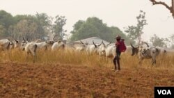 FILE - A Fulani herder leads his cattle in a Nigerian pasture. The Fulani are a predominantly Muslim ethnic group. Conflict between Fulani cattleherders and Christian farmers is increasing as more cattle herders move south, oftentimes entering farming land. (C. Oduah/VOA)