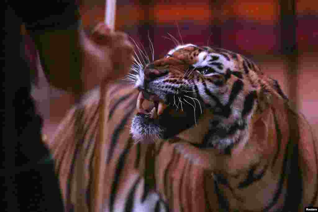 A tiger looks at a trainer during an open training for media at Fuentes Boys Circus in Mexico City, Mexico, June 19, 2014.