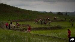 지난 2014년 북한 평양 인근 논에서 학생들이 농사 일을 돕고 있다. (자료사진)