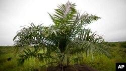 Palmier à huile, 1er février 2013.