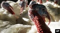 A flock of 30-pound tom turkeys mill around in the barn at Raymond's Turkey Farm in Methuen, Massachussetts