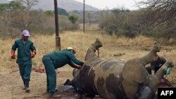 지난해 남아프리카 공화국 음푸말랑가 주의 크루거 국립 공원에서 밀렵꾼에 의해 희생된 코뿔소. (자료사진)