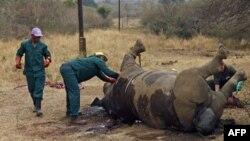 Para pekerja membersihkan bangkai badak yang dibunuh setelah diambil culanya oleh pemburu di Taman Nasional Kruger di provinsi Mpumalanga, Afrika Selatan. (Foto: Dok)