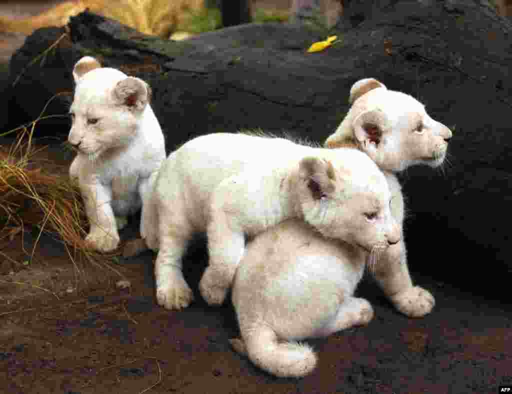 5 Ocak: Bueonos Aires Hayvanat Bahçesi'nde doğan bir aylık beyaz aslan yavruları (Enrique Marcarian/Reuters)