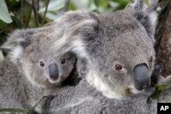 Dua koala di kebun binatang Sydney, Australia. (Foto: dok).