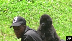 Year-and-a-half-old orphan gorilla Ihirwe plays with one of her caretakers in Kinigi, Rwanda