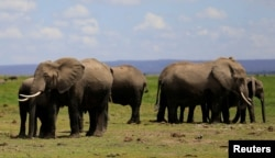 Elephants graze before being fitted with advanced satellite radio tracking collars to monitor their movement and control human-wildlife conflict near Mt. Kilimanjaro at the Amboseli National Park, in Kenya, Nov. 2, 2016.