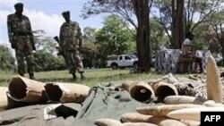 Ảnh minh họa: Ngà voi bị tịch thu tại cơ quan động vật hoang dã Kenya tại Nairobi
