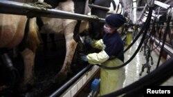 新西兰乳制品出口巨头恒天然合作集团在唐山市附近汉沽县的奶机棚:农场管理工给奶牛安置挤奶杯