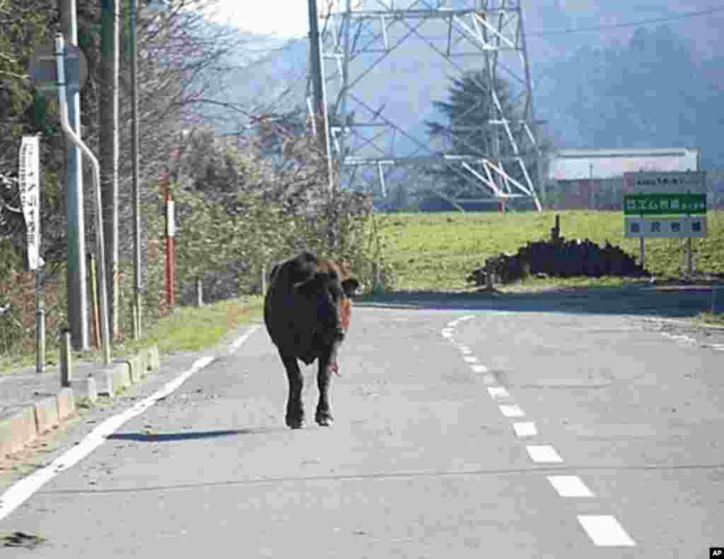 A cow ambles down a road in Namie, Namie, Fukushima Pref., Japan, March 12 2011 (VOA - S. L. Herman)