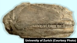The 26-cm-long fossil preserving the right side of the skull of Birgeria americana.