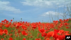 Red poppies are a symbol of remembrance for those who served in war.
