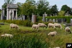 Domba memakan rumput dan bunga liar lainnya di pemakaman Schoonselhof, Hoboken, Belgia, Jumat, 13 Agustus 2021. (AP)