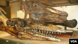 Restos de Titanosaurios han sido hallados ahora en los siete continentes del mundo.